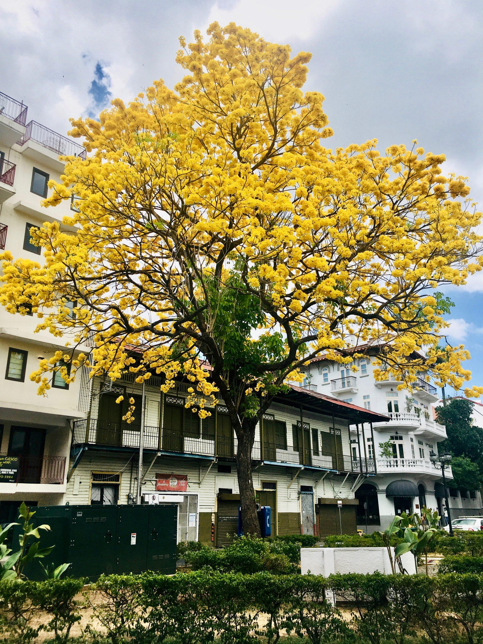 Guayacán florecido en Casco Viejo frente al Hotel Las Clementinas