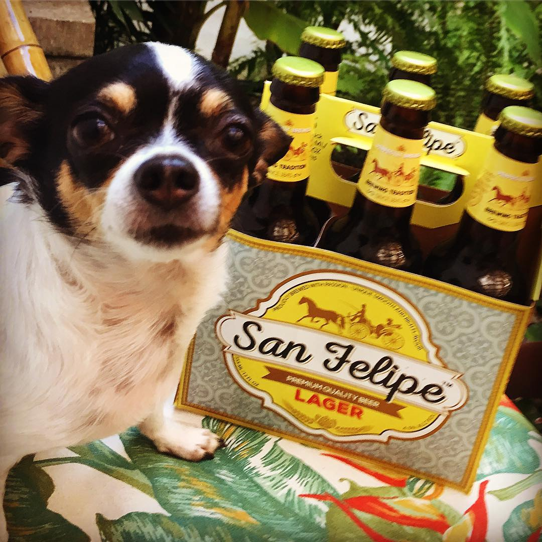 Olive, Brittany's chihuahua, is posing with San Felipe Lager Beer
